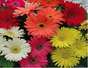 Mixed Gerberas